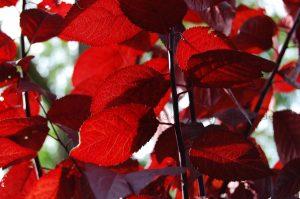 śliwa wiśnia ozdobna pissardi czerwonolistna