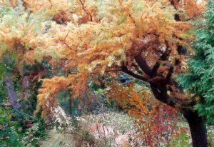 modrzew jesienny ogród