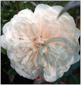 Colonial White biała pełna róża pnąca kraków