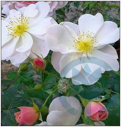 Sourir d'orchidee róża parkowa kraków