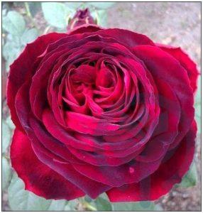 Johann Wolfgang von Goethe róża wielkokwiatowa kraków
