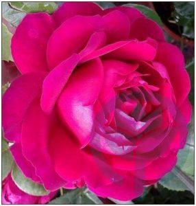 Ascot róża wielkokwiatowa Kraków