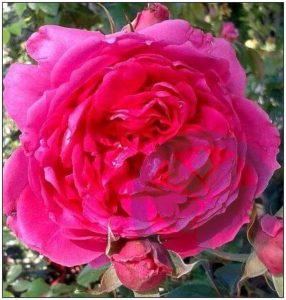 Pink Cloud róża pnąca kraków