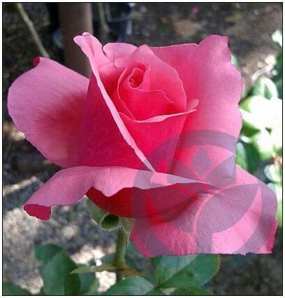 Carina róża wielkokwiatowa Kraków