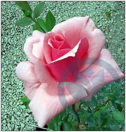 Balanga róża wielkokwiatowa Kraków