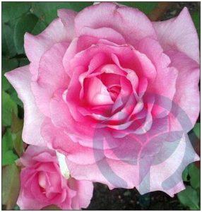 Beverly róża wielkokwiatowa Kraków