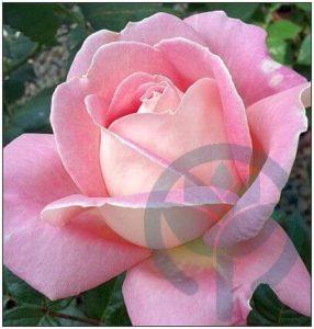 Myriam róża wielkokwiatowa Kraków