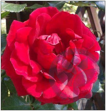 Sympatia róża pnąca kraków