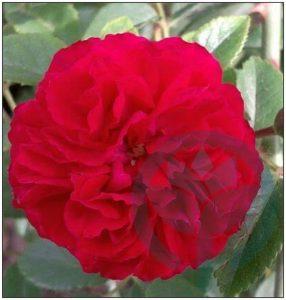 Chevy Chese róża pnąca kraków