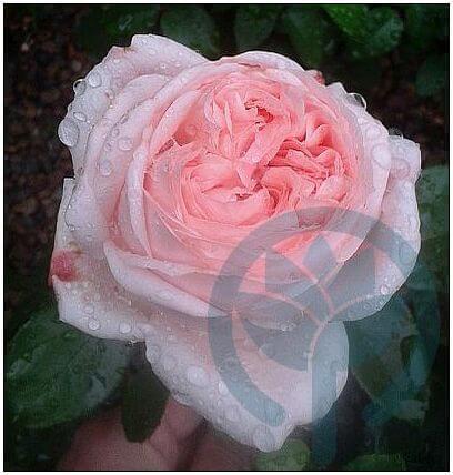 Voyage róża wielkokwiatowa Kraków