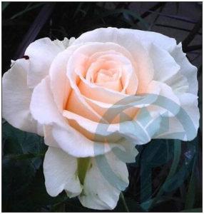 Lod Lavki róża wielkokwiatowa Kraków