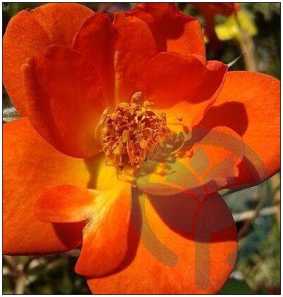 Warm Welcome róża pnąca kraków