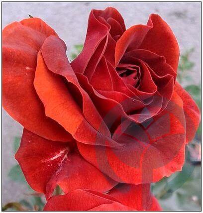 Brown Velvet róża rabatowa Kraków