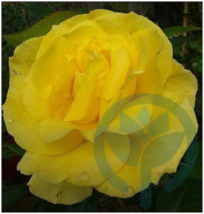 Dukat róża pnąca kraków