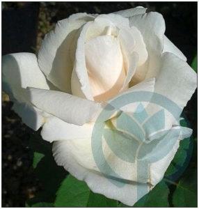 Frau Karl Druschki róża wielkokwiatowa Kraków