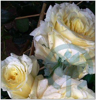 Elfe róża pnąca kraków