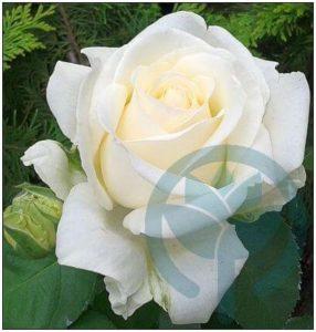 Chopin róża wielkokwiatowa Kraków