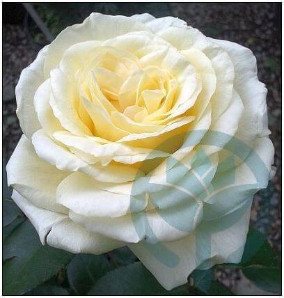 La Perla róża wielkokwiatowa Kraków