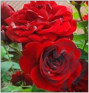 Lavaglut róża rabatowa Kraków