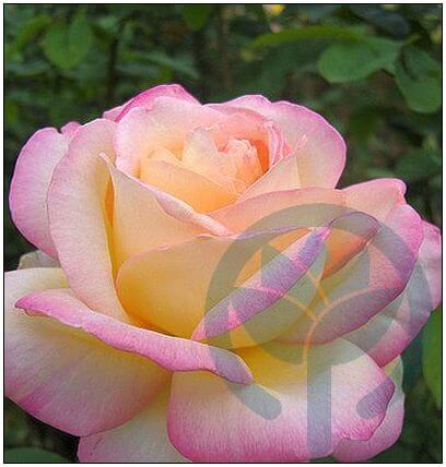 Gloria Dei róża wielkokwiatowa Kraków