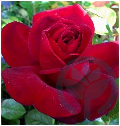 Jugendliebe róża rabatowa Kraków