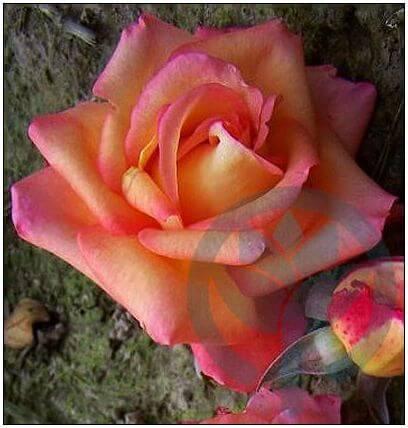 Die Welt róża wielkokwiatowa Kraków