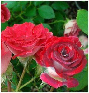 Schone Koblenzerin róża rabatowa Kraków