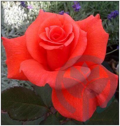 Lady Rose róża wielkokwiatowa Kraków