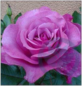 Lila Wunder róża wielkokwiatowa Kraków