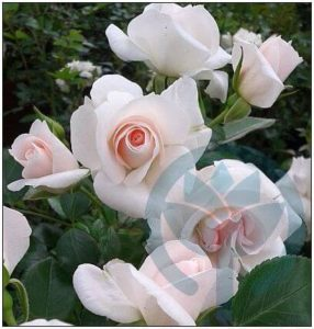 Aspirin róża rabatowa Kraków