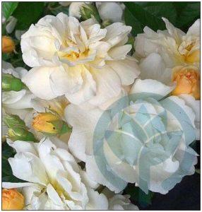 Ghislaine de Feligonde róża pnąca kraków