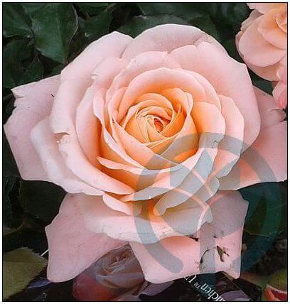 Kalmar róża rabatowa Kraków