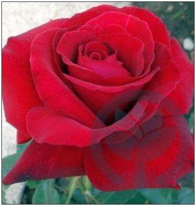Duftzauber róża wielkokwiatowa kraków