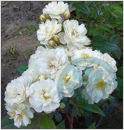 Waterloo róża piżmowa pnąca biała kraków