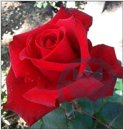 Grande Amore róża wielkokwiatowa Kraków