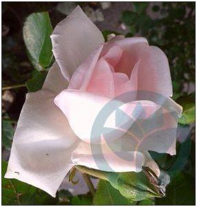 New Dawn róża pnąca porcelanowy róż kraków