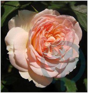 Pastella róza rabatowa Kraków