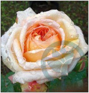 Alchymist róża pnąca kraków