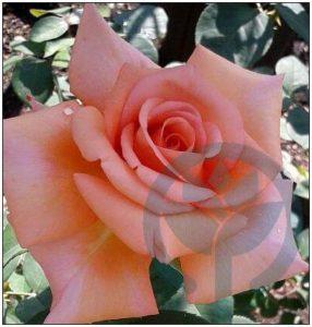 Compassion róża pnąca kraków