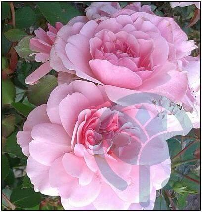 Bonica róża rabatowa Kraków