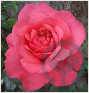 Rosanna róża pnąca kraków