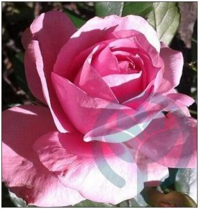 Rosenfee róża rabatowa Kraków