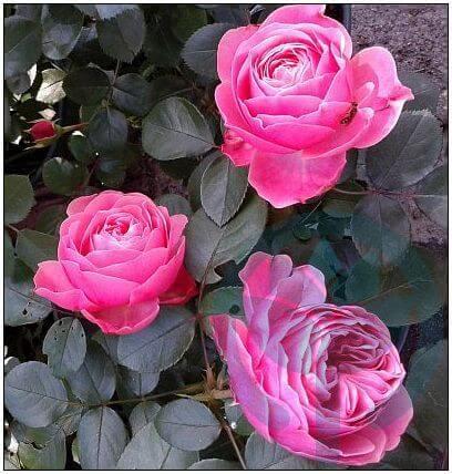 Leonardo da Vinci róża rabatowa Kraków