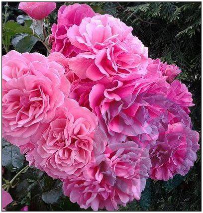 Rosarium Uettersen róża pnąca kraków