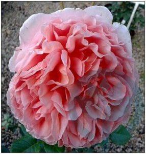 Abraham Darby róża parkowa angielka Austin kraków