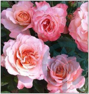 Augusta Luise róża parkowa