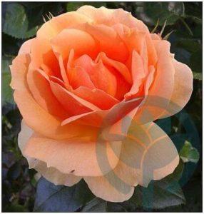 Belveder róża parkowa kraków