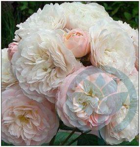 Bouquet Parfait róża piżmowa kraków