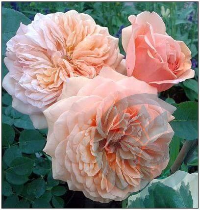 Charles Austin róża parkowa
