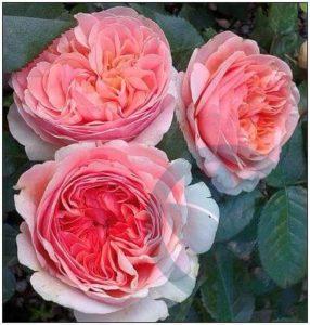 Chippendale róża parkowa kraków